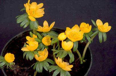 RHS Plant Selector Eranthis hyemalis 'Orange Glow' / RHS Gardening