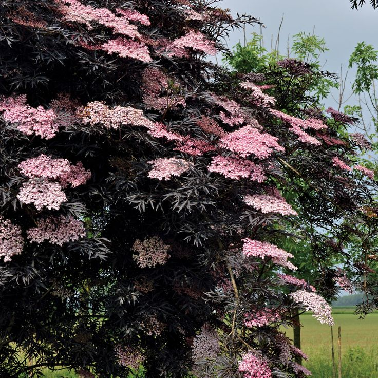 Black Lace Elderberry (Sambucus nigra Black Lace) at Wayside Gardens