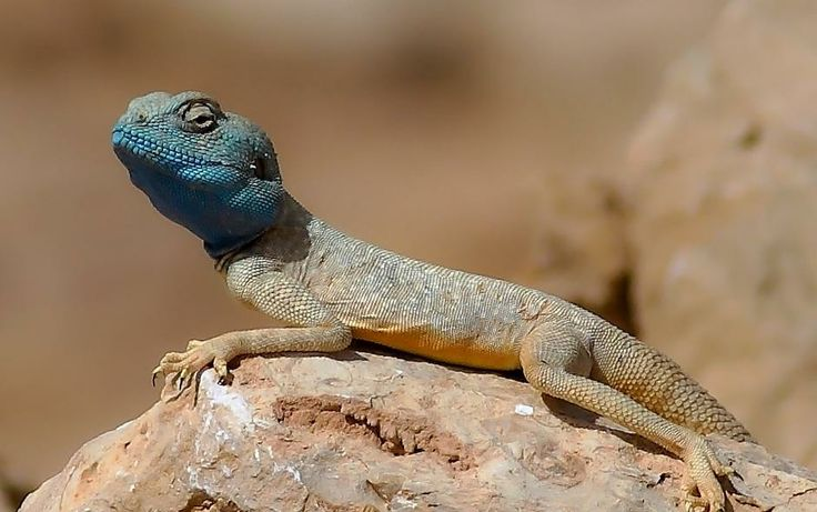 Animals Of The Desert This Is Animals Of The Desert Scorpion Animal Desert Chameleon Pet Animals Wild Animal World
