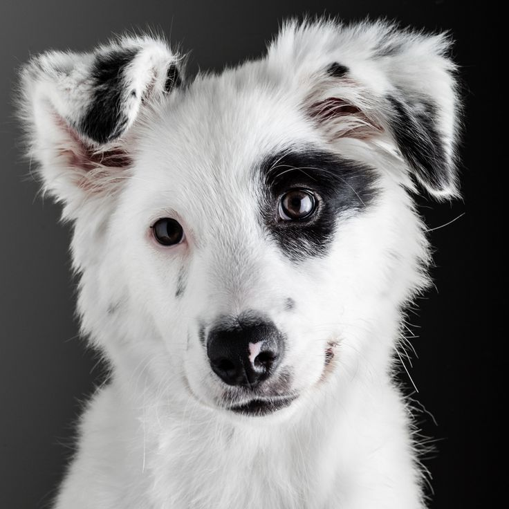 Bella the Border Collie by Carlos Restrepo