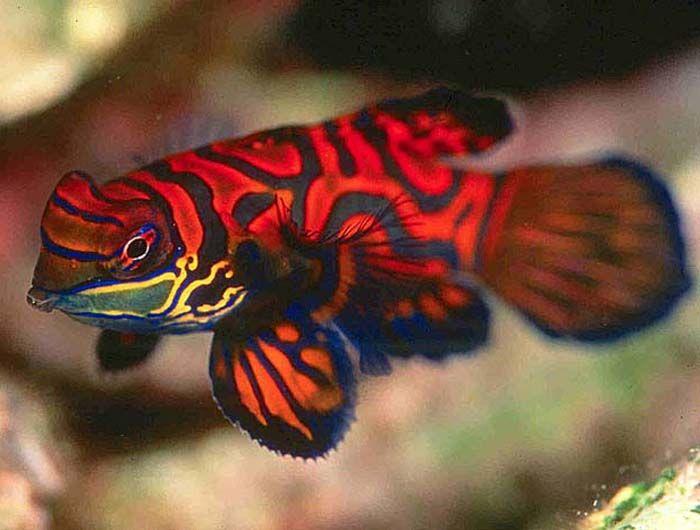 Most+Beautiful+Fish   ... the blue water : Mandarin - The most beautiful fish under blue water