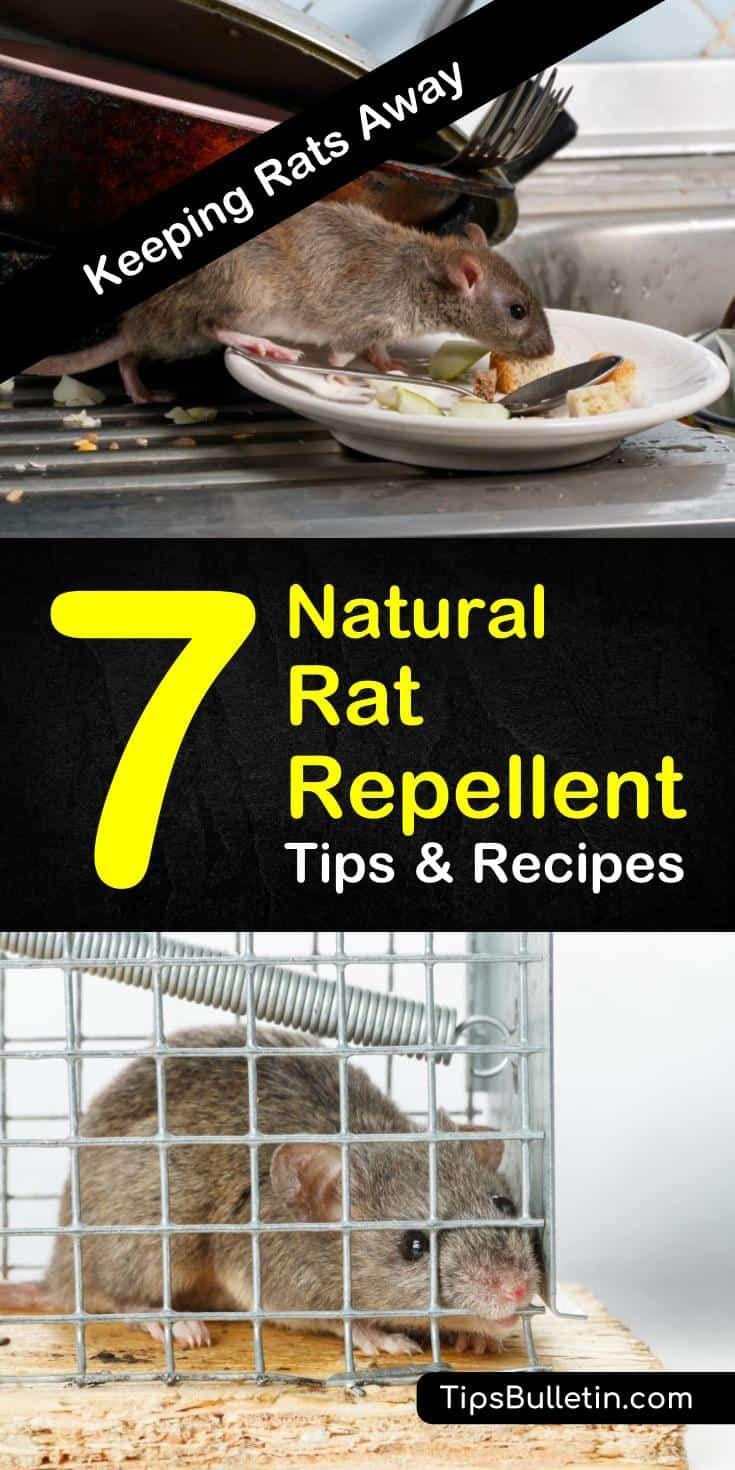 Keeping Rats Away 7 Natural Rat Repellent Tips And Recipes Natural Rat Repellent Rat Repellent Rodent Repellent