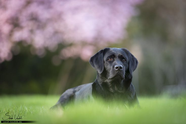 schwarze Labrador Hündin Amy vor Kirschblüten | Hundefotografie München