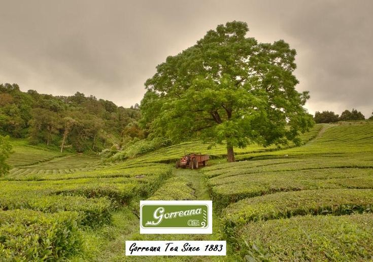 "Gorreana Tea is recognized internationally as a ""world class"" tea and is Europe's oldest remaining tea company. The family owned platation covers 32 acres and presently produces about 33 tons per year. The largest portion is destined for the Azorean market with the remaining exported to continental Portugal, Germany, USA, Canada, and Austria. http://gorreanatea.com/"