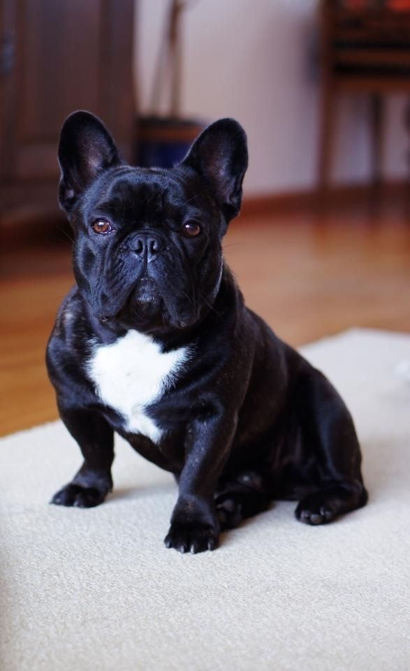 Buddha, the French Bulldog