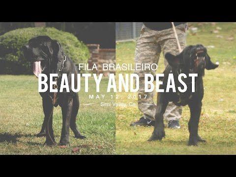 FILA BRASILEIRO A BEAUTY AND A BEAST - http://www.dressmypup.net/2017/05/13/fila-brasileiro-a-beauty-and-a-beast/ #cutepuppies #funnydogs #cuteanimals #funnyanimals #puppies