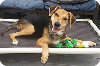 Linden, NJ - Treeing Walker Coonhound/Beagle Mix. Meet Jilly, a dog for adoption. http://www.adoptapet.com/pet/11619362-linden-new-jersey-treeing-walker-coonhound-mix
