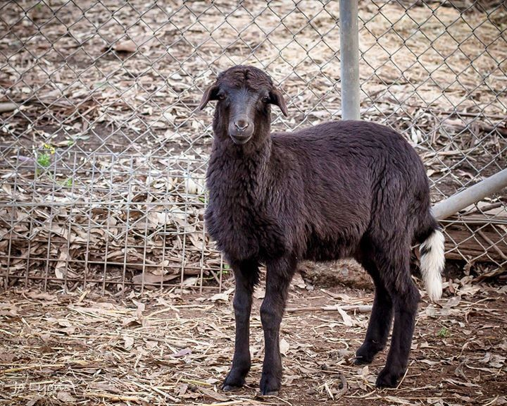 This little girl has found herself at Renbury Farm Animal Shelter... the caretaker did tell me what type she was but I can't remember the name. I just googled and she could possibly be a Balwen Welsh Mountain lamb. She is sooooo cute and she stamps her li