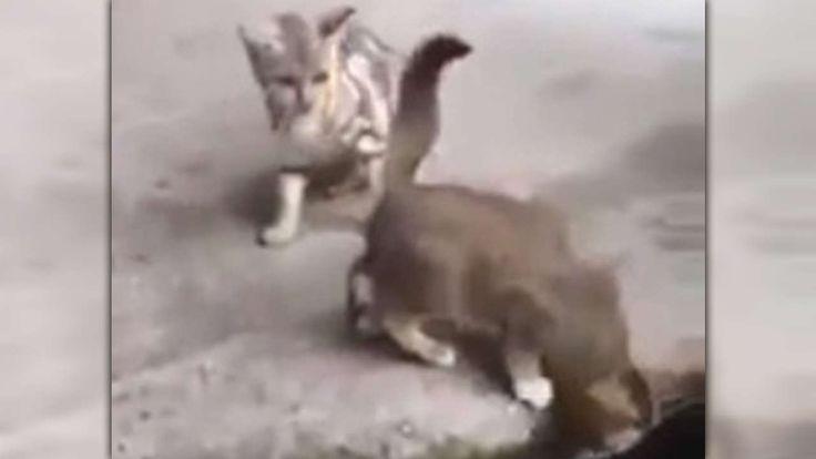SPRUNG-ATTACKE IM VIDEO Hungriger Karpfen greift Kätzchen an