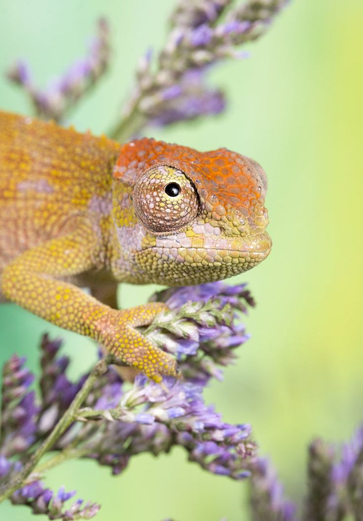 Dwarf fishers chameleon 2 by AngiWallace