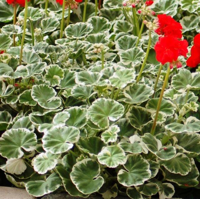 36 best images about Geraniums on Pinterest | Sun, Hanging ...