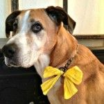 Yellow ribbon dogs send a safety message