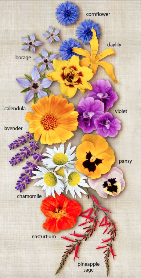 Beautiful to look at and delicious to eat, edible flowers will add a delicate touch to your next dish.