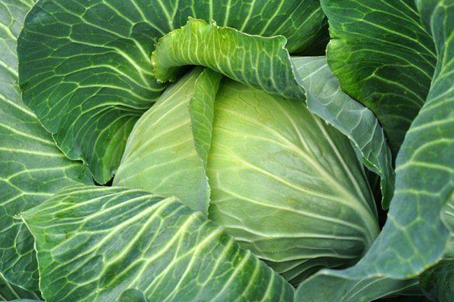 gmo cabbage