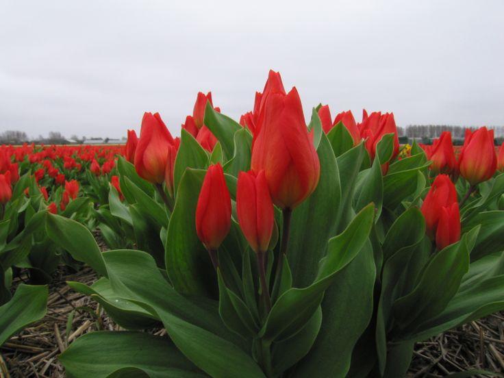 Rode tulpen, Lisse en omgeving. #tulpen #tulips