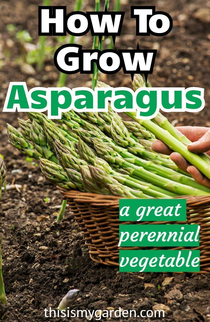 How To Grow Asparagus - The Perfect Perennial Spring ... Planting Asparagus In The Fall