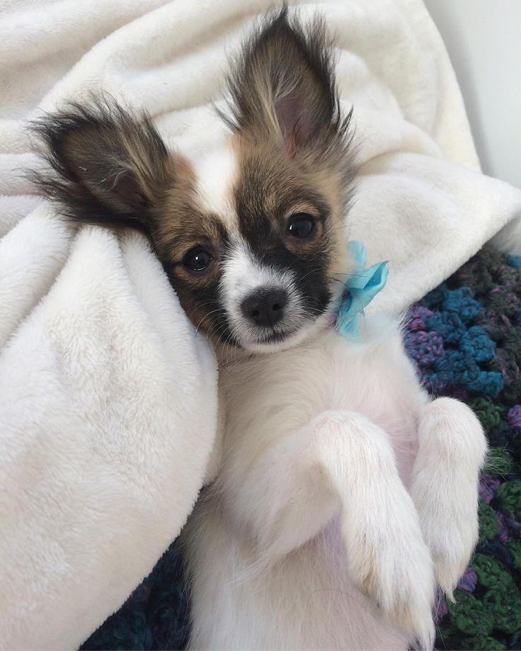 RepostBy  @puppygizmo Waiting for belly rubs   #puppy #puppiesofinstagram #puppylove #furbaby #instagood #chihuahua #pomeranian #pomchi #petsofinstagram #petlovers  #instapet #instacute #sgpets #petoftheday #dailydoseofcute  #instagrampetphotos #cutepetclub #adorable #love #animallover #petstagram #chihuahuasofinstagram #pomeraniansofinstagram #pomchisofinstagram  #photooftheday #potd #pomchilove #dogsarethebest #dailydog #pompom