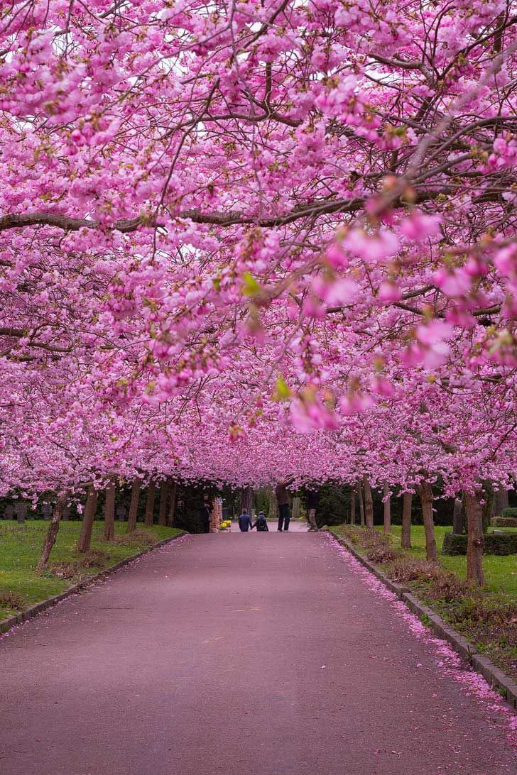 15 Amazing Places To See Cherry Blossoms In The World Spring Desktop Wallpaper Blossom Garden Garden Pictures