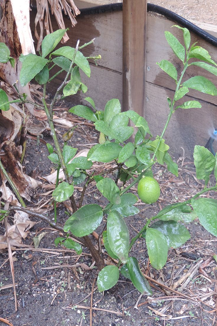 Dwarf lemon tree left to it's own devices and swamped by banana trees