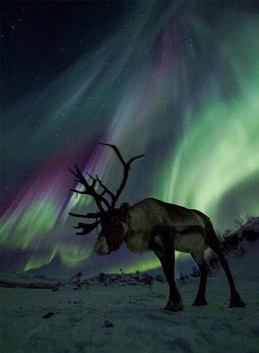 Reindeer under the aurora borealis. Wow.