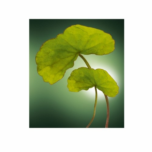 Centella firms the appearance of your body!