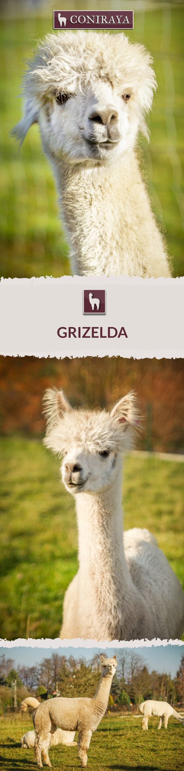 Meet Coniraya - Grizelda. This Alpaca was born in 2012 and its fiber is in color: Grey. Check out more details on our site!