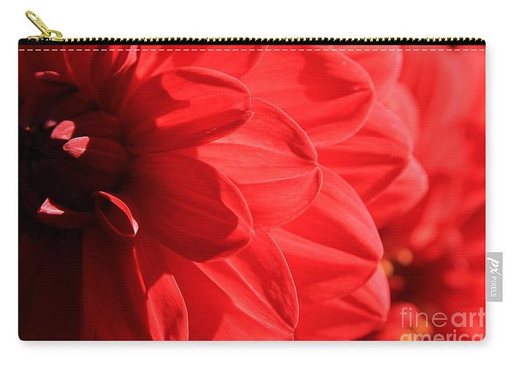Dahlia Carry-all Pouch featuring the photograph Dahlia by Sverre Andreas Fekjan