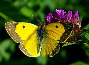 Afbeeldingsresultaat voor gele vlinders in nederland