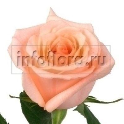 срезанные цветы оптом цены дешево