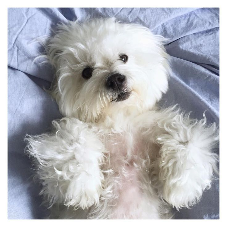 Meet The Ultimate Companion Dog The Coton De Tulear American