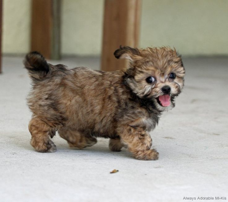 Pictures Of Teacup Dogs For Sale
