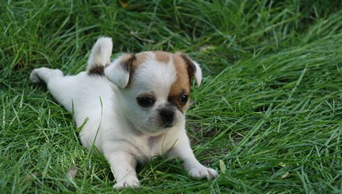 puppy!: Animal Pictures, Dogs, Pet, Cuti, Cute Puppies Pictures, Chihuahua, Mornings Stretch, Funny Puppies Pictures, Adorable Animal
