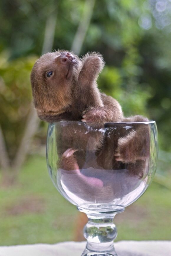 Cup of sloth