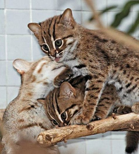 Two rusty-spotted cat kittens with their mum - rare births at the Berlin Zoo in late 2012. World's smallest cat: Adults are two to three pounds. Found in the wild only in India and Sri Lanka. More at the click from Scientific American!
