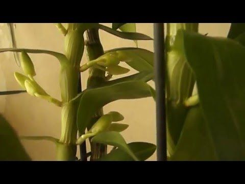 Как заставить цвести дендробиум нобиле ч.1 - YouTube
