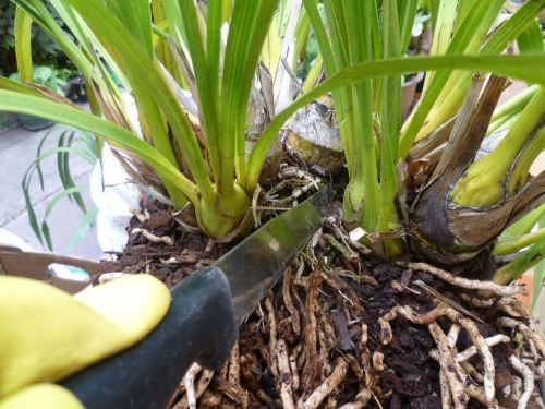 Dividing Cymbidium Orchid                                                                                                                                                                                 More