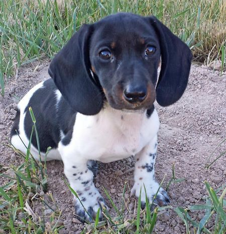 Lily the Miniature Dachshund
