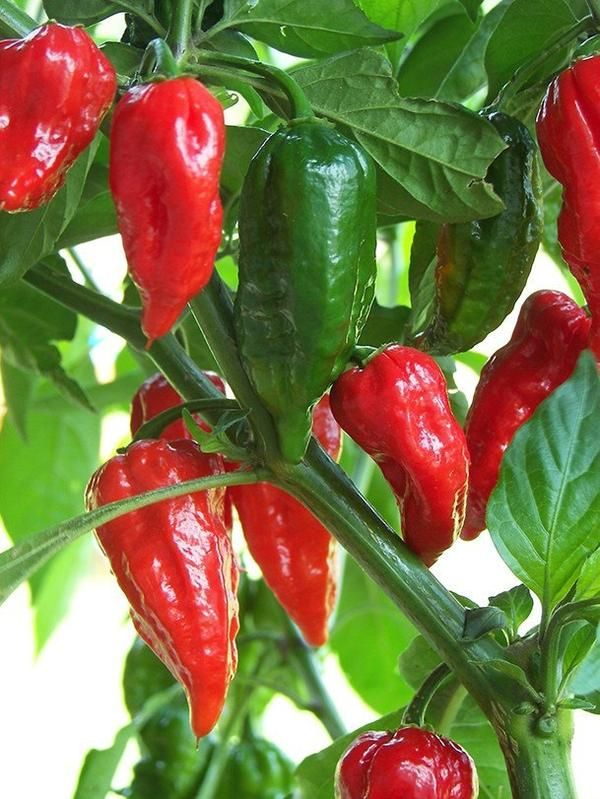 Germ 10-14 days A legendary variety from India with its extreme heat , said to be one of the hottest pepper in the world with a Scoville rating over 1 million units. For comparison the Jalapeno has a