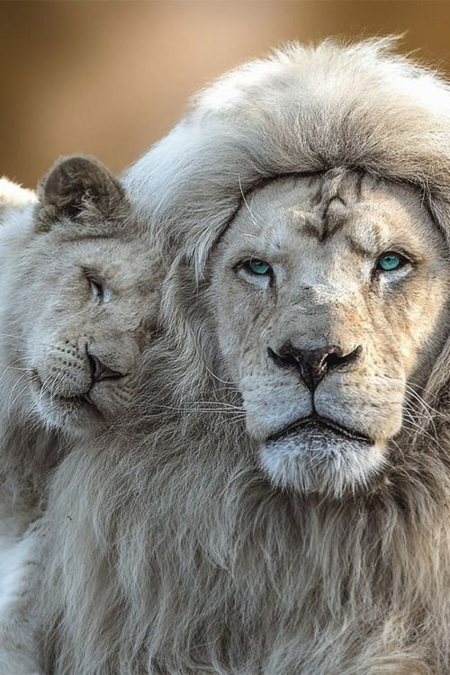 """ White Lion with cub By Jean Claude "" #BigCatFamily"