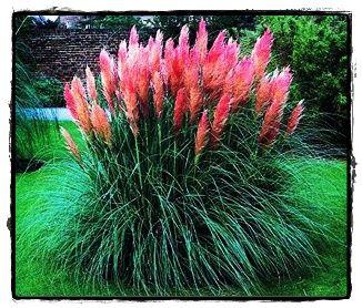 pink pampass grass good for backgrounds.: Gardens Ideas, Pampass Grass, Pink Feathers, Yard, Pampas Grass, Flowers Plants, Flowers Beds, Pink Pampass, Ornaments Grass