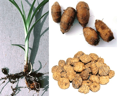 Information and recipes for tiger nuts, Cyperus esculentus (chufa) including what it is, which parts are edible, history and example recipes from Africa and Europe.