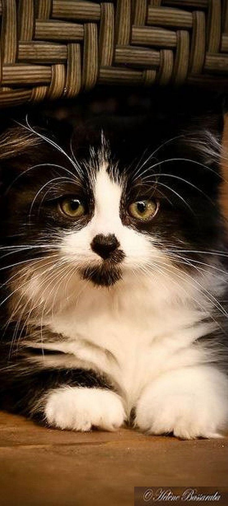 beautiful kitty cat  #von Helene Bassaraba -- Flickr.com