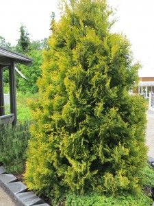 Kultatuija – Thuja occidentalis (guldtuja)