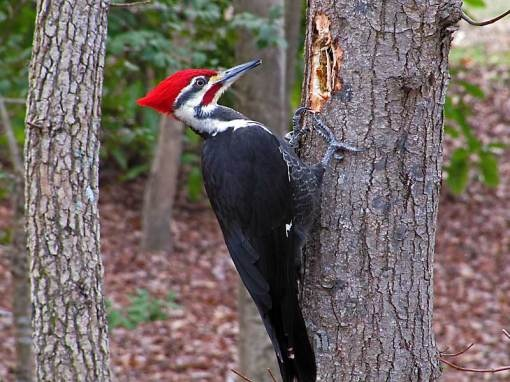 Pileated Woodpecker - for about a year, one of these was living inside a very tall tree at the back of the yard.  Even saw him standing in the grass a couple of times!  Pretty amazing for such an elusive bird.