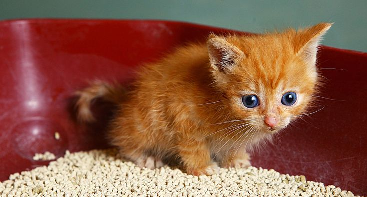 Kitten Training Obedience Tips For Your New Cat Hill S Pet Litter Box Training Kittens Kitten Proofing Cat Training Litter Box