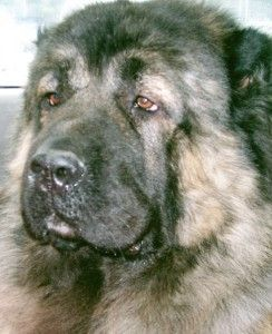 Just learned about his breed,   The Caucasian dog or, Caucasian Ovcharka.. they are HUGE!!!
