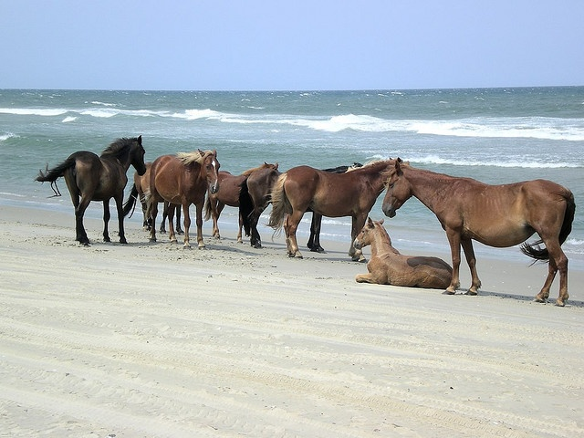 I have seen these personally. Definitely worth the trip!  Wild Horses in Corolla, Outer Banks, North Carolina.