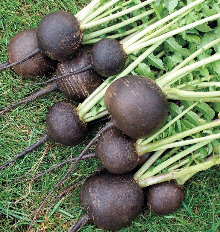 Radish Seeds - BLACK ROUND SPANISH - Heirloom Vegetable- Easy to Grow- 100 Seeds #theseedhouse
