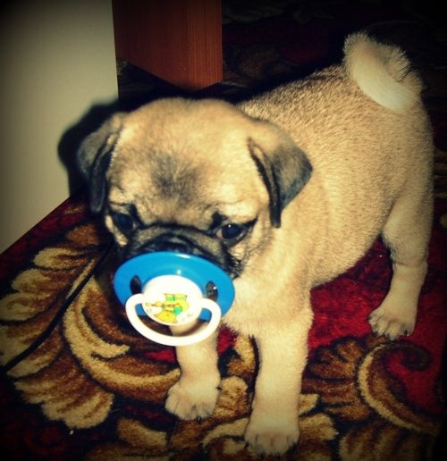 I did this with my Pug, yrs ago.... It worked soothed him. Kept him busy, DO NOT LV ALONE, when using..... Try it on your Dog !!!