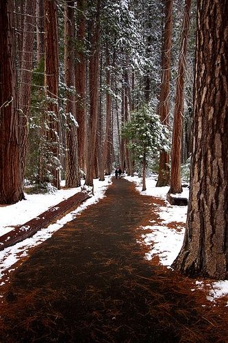 Snowy Day, The Redwoods, California